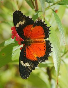 05/07/15 Malay Lacewing