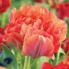 Double Touch Dream Tulip | Forestry King Greetja Smit Gudoshnik Double