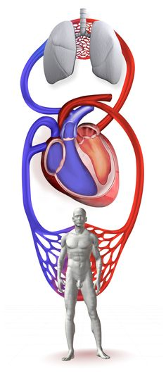 heart and lungs Heart And Lungs, Medical Illustration, Lunges, Human Body, Disney Characters, Fictional Characters, How To Draw Hands, Medicine, Drawings