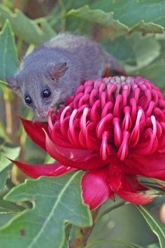 Pygmy Possum and Waratah - Australia (photo by Greg Bourke) Australian Native Flowers, Australian Plants, Australian Animals, Australian Wildflowers, Australian Bush, Australian Garden, Beautiful Creatures, Animals Beautiful, Animals And Pets