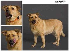 See list! ❌❌❌❌❌❌❌SUPER URGENT: SL: 2-8-18:  1-5-18: (11-19-17): (11-01-17) :  (10-20-17):  Austin, Texas -: KOLA: Breed: Labrador Retriever/German Shepherd Dog Mix Color: Brown/Chocolate Age: *** Senior Size: Large 61-100 lbs (28-45 kg) Sex: Female ID#: 11273195-A597150
