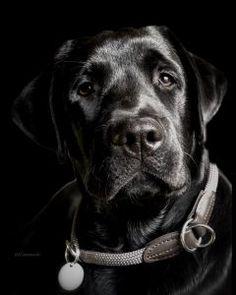 Golden Retrievers, White Golden Retriever Puppy, Black Labrador Retriever, Labrador Retrievers, Cute Little Puppies, Cute Dogs, Black Lab Puppies, Dogs And Puppies, Husky Corgi