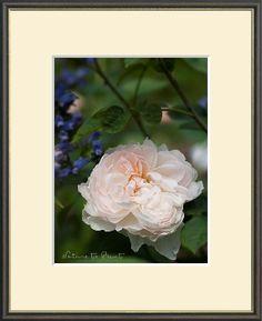 Rosenbild mit zartrosa Rosenblüte im Garten. Leinwandbild oder Kunstdruck.