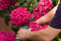 Hydrangea Bush, Hydrangea Care, Hydrangeas, Garden Care, Bloom, Flowers, Plants, Celebrity, Tips