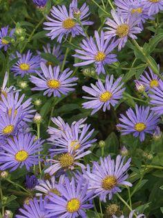 Wonder of Staffa Aster  Soft lavender blue. A wonderful garden plant. Blooms forever