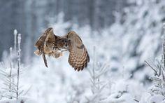 Wallpaper eagle owl, winter, owl, flight