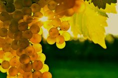 Google Image Result for http://chardonnaypm.com/wp-content/uploads/2011/12/yellow-grapes5.jpg