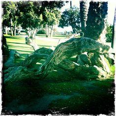 Here is one of my favorite natural wonders in Palisades Park, Santa Monica