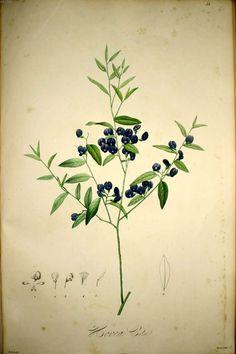 IMG / рисунки редких растений / Hovea celsi.jpg