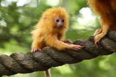 """Baby Golden Lion Tamarin by smileybears "" Tamarin Lion Doré, Golden Lion Tamarin, Asian Monkey, Ape Monkey, Zoo Animals, Animals And Pets, Cute Animals, Wild Animals, Types Of Monkeys"