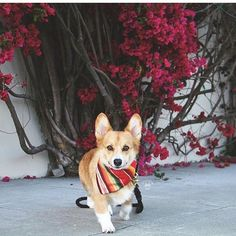 Cute corgi with his Lasso rope leash.