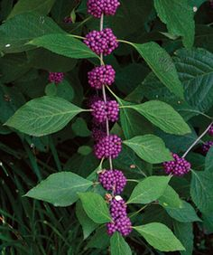 Beautyberries grows 6 feet tall and wide and those purple berries are produced in fall and winter.