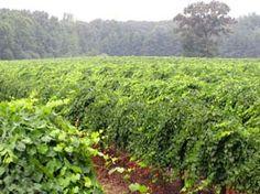 Muscadine vineyard