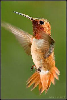 Male Allen's Hummingbird by geckoni
