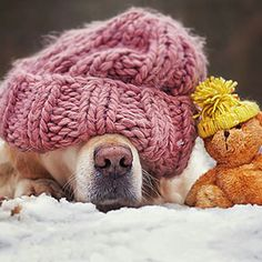 The Adventures Of Golden Retriever Mali And His Teddy Bear