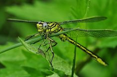 Free Photo: Dragonfly, Macro, Insect, Water - Free Image on Pixabay - 122787 Dragonfly Facts, Small Water Gardens, Mosquito Larvae, Swamp Milkweed, Underwater Plants, Aerial Acrobatics, Butterfly Weed, Small Fountains, Insects