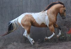 Paint horse galloping