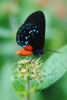 The brilliance of an Atala butterfly. This species almost became extinct, but is now being reintroduced to the environment.