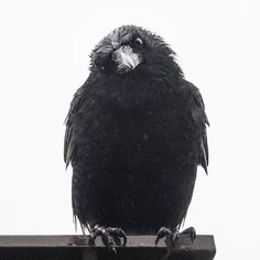 "June Hunter (@junehunterimages) on Instagram: ""Another rainy day here on the Wet Coast. #crow #wetcrow #vancouver #rain #soggy #marvinandmaviscrows"""