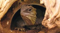 """New Zealand's tuatara has a unique way of chewing its food, say scientists who have studied its jaws in detail.    This beak-headed reptile uses a """"steak-knife sawing motion"""" as it chews.    This could help explain how the species has continued to adapt to a changing world - and changes in available prey - over more than 200 million years."""