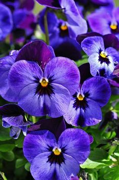 pansys are so beautiful,one of my favorite flowers..