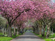 In the pink: The image shows the vibrant hues of blossom trees near a south London graveya...
