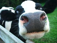 cow moooo! Look at the cute noise