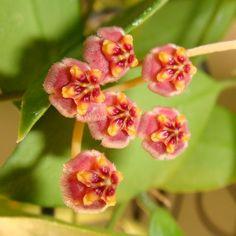Hoya memoria Cutting [IML 0107] - $8.00 : Buy Hoya Plants Online in Many Species from SRQ Hoyas Today!