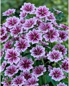 Malva Zebrina, Mallow Zebra Mallow is heat and drought tolerant. It will flower from summer until frost. Garden Shrubs, Lawn And Garden, Garden Plants, Balcony Garden, House Plants, Shade Flowers, Pink Flowers, Beautiful Flowers, Flowers Perennials