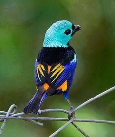 Tángara siete colores, preciosa ave colorida...