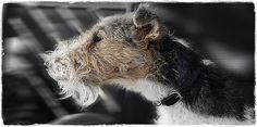 Guardian Foxterrier Fox Terrier, Beautiful Dogs, Puppy Love, Goats, Doggies, Dogs, Goat, Puppys, Puppies