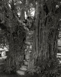 The Nantglyn Pulpit Yew, Wales, 2008: Beautiful dark twisted fantasies: the world's most ancient trees – in pictures