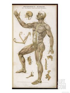 Physiological Diagram of the Muscles Joints and Animal Mechanics of the Human Body Giclee Print at Art.com