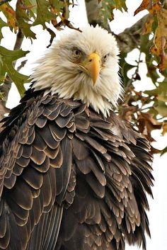 Eagle Bird, Birds Of Prey, Pet Birds, Wildlife, Creatures, Painting, Animals, Bald Eagles, Beautiful