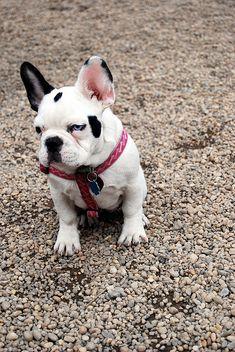 Adorable french bulldog!