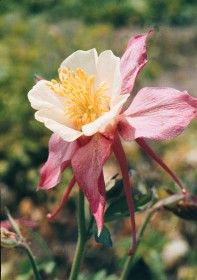 'MCKANA'S GIANT' COLUMBINE -  Aquilegia McKana mixture  Full /  Part Sun Height: 75cm  Spread: 25cm - 30cm  Zones: 2-9b  Bloom Time: May - July   Usage   F      - Cu