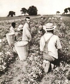 """Picking Peas, 1918 Trustees Report. None of the """"patients"""" who were doing all of this manual labor were paid a penny. It was """"training,"""" training for a lifestyle that was rapidly disappearing and for jobs that no longer existed in the """"real world."""""""