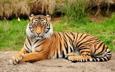 <3 I love tiger <3