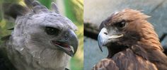 Harpy eagle Vs Golden eagle fight Steller's Sea Eagle, Harpy Eagle, Golden Eagle, Eagles, Birds, Wild Animals, Google Search, Image, Inspiration