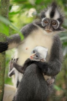Thomas's Leaf Monkey - Mother and Mohawk Baby by mikel.hendriks on flickr