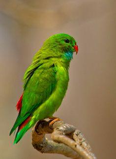 Vernal Hanging Parrot (Loriculus vernalis). A small parrot of India and Southeast Asia, it sleeps hanging upside-down. photo: Supriya 'n' Subharghya.