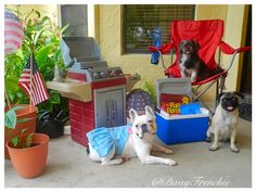 Is your dog or pet ready for the Fourth of July?  Make sure that they are safe by preparing ahead of time.  Daisy the French Bulldog went shopping at @Petco to Play it Safe for the Fourth of July. #ad #shop #safety #dog