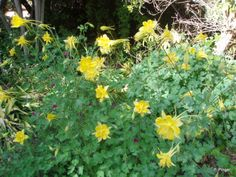 golden columbine, hummingbird garden, Boyce Thompson Arboretum