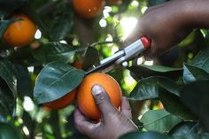 [New] The 10 Best Garden Ideas Today (with Pictures) - When production slows down in the cooler months citrus trees become the main attraction producing a delicious harvest - just when we need it most.