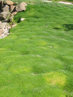 Sagina subulata (Vetmuur)