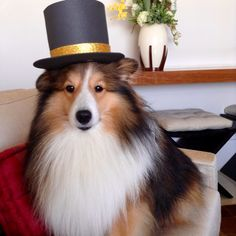 Dapper Sheltie in his Top Hat