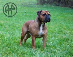 AP Makko Continental Bulldog Male  www.asgards-pride.com Continental Bulldog, Bulldog Breeds, Bully Dog, Old English Bulldog, Big Dogs, Beautiful Dogs, Mans Best Friend, Puppies, Spiritual