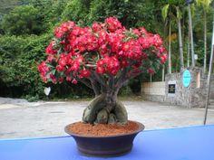 Red Adenium Flower