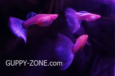 Ohhhh no! Look at these beautiful guppies from Thailand!  The female!!! From Guppy Zone Thailand.