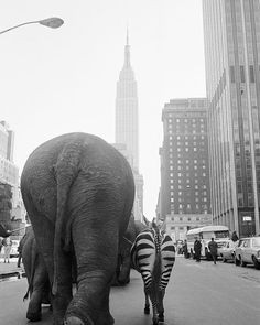 A troupe of elephants and a zebra walk down 33rd Street in Manhattan for the arrival of Ringling Brothers and Barnum & Bailey Circus 1968.